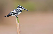 Pied Kingfisher (Ceryle rudis) from the White Nile, Uganda.