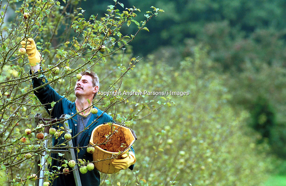 Aspall Orchard in Debenham, Suffolk. The start of the apple harvest. They shake the tree to make the apples fall. Colin Crements then picks up the apples of the ground. .Photo by Andrew Parsons/i-Images.All Rights Reserved ©Andrew Parsons/i-images.See Instructions.