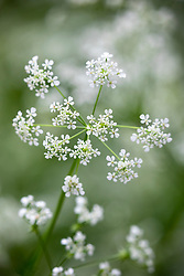Anthriscus sylvestris - Common cow parsley, Wild chervil, Beaked parsely, Keck