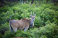 An eland, a type of antelope, in the wild, South Africa.