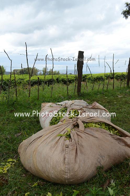 Kenya, Tea plantation, bags of picked tea leaves