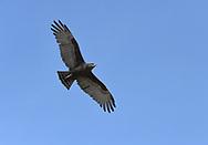 Brown Snake-eagle - Circaetus cinereus