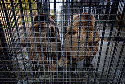 ROMANIA ONESTI 26OCT12 -  Eurasian brown bears in captivity at the Onesti zoo.  ..The zoo has been shut down due to non-adherence with EU regulations on the welfare of animals......jre/Photo by Jiri Rezac / WSPA.....© Jiri Rezac 2012