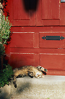 France, Provence, Bouche du Rhone, chat dans une rue de Arles. // France, Provence, Bouche du Rhone department, ciy of Arles. Cat.