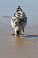 Sanderling in summer plummage on beach in Scotland, August