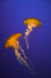 USA, Monterey, California Two sea nettles swim through an aquarium. Credit as: © Josh Anon / Jaynes Gallery / DanitaDelimont.com