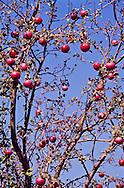"The apple was first domesticated in Kazakhstan.  These ""Wild Apples,"" as they are formally named, grow in an ancient orchard at the Panfilovsky Farm outside Almaty.  They are believed to be remnants of primeval forests and are currently subjects of apple genetic studies.  Horticulturists believe seeds and cuttings from these orchards spread on ancient trade routes to the Middle East, Europe, and across the Bering Straits into North America.  The name Almaty translates as ""Father Apple."""