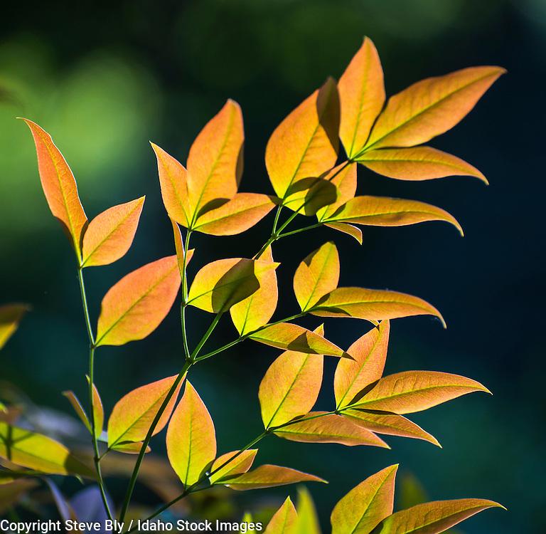 Leaves, Colorful Spring foilage leaves against a dark background. USA