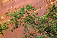 Branches of maple reach out at the base of a sheer sandstone cliff along the North Fork of the Virgin River, © 1990 David A. Ponton
