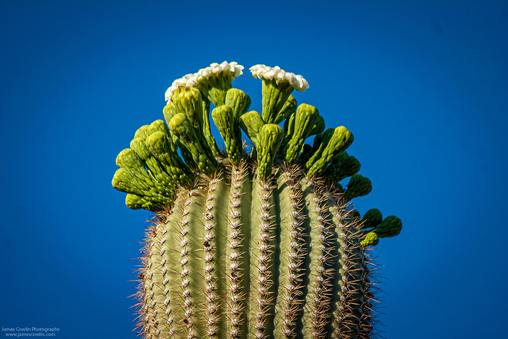 Flowers of the saguaro cactus in Saguaro National Park, Arizona