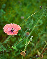 Pink Poppy. Image taken with a Leica SL2 camera and 50 mm f/1.4 lens