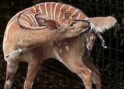 A Nyala gives birth at the Sacramento Zoo.