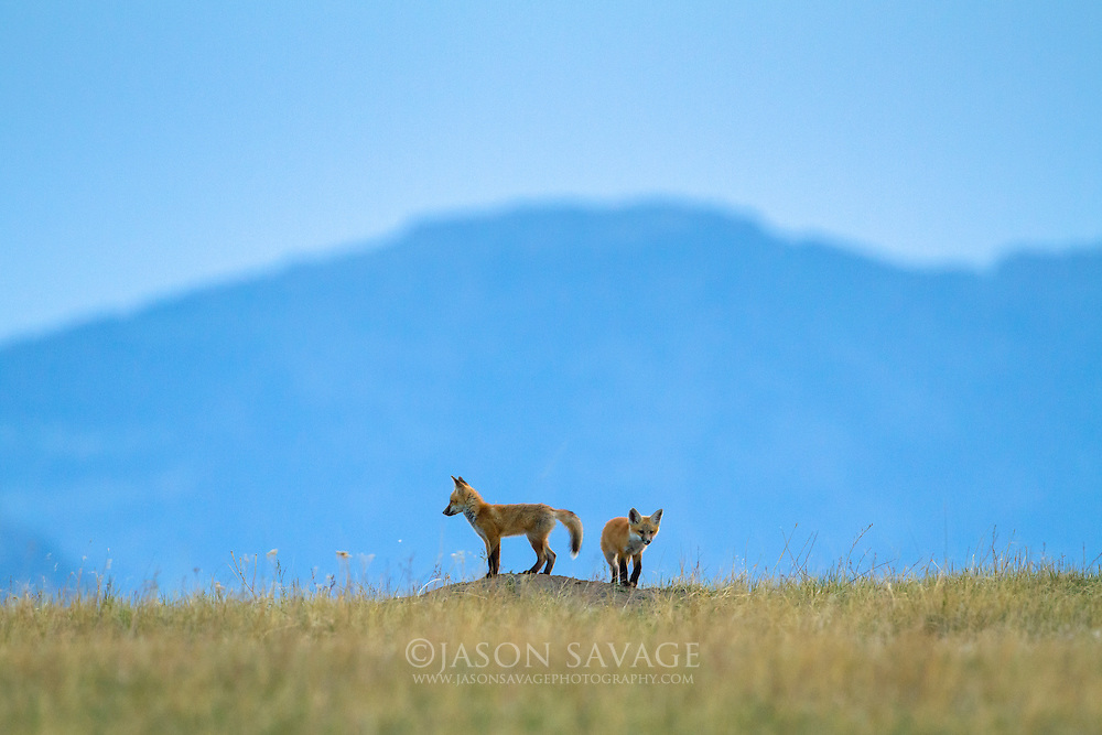 Red Fox Kits in central Montana.
