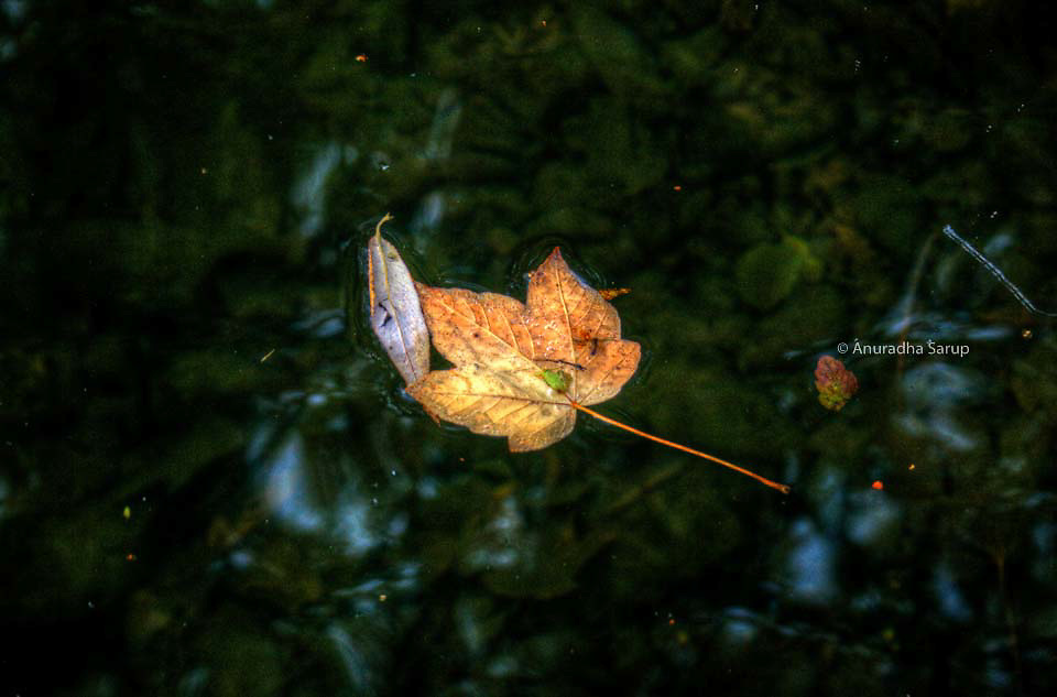 A dead leaf floating in water