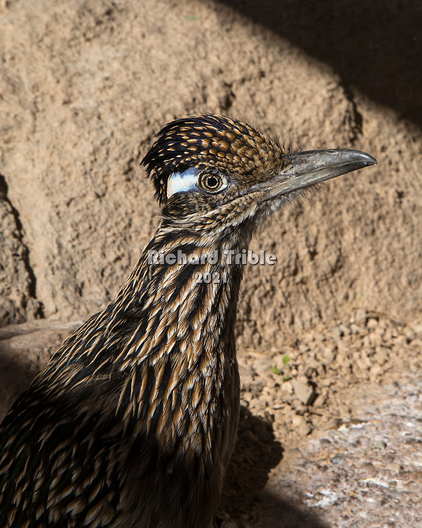 A roadrunner at the Arizona-Sonora Desert Museum