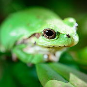 Cute green Japanese tree frog (Hyla japonica) sitting on a tree branch. アマガエル