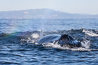 Humpback whale (Megaptera novaeangliae) feeds on anchovies in the Monterey Bay.