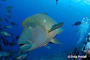Napoleon wrasse, Maori wrasse or giant humphead wrasse, Cheilinus undulatus, and divers at Big Fish Encounter, Shark Reef Marine Reserve, Beqa Passage, Viti Levu, Fiji ( South Pacific Ocean )