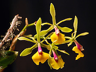 Epidendrum orchid flowers in front of a black background