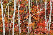 Paper birch trees and maple trees in autumn color<br /> <br /> Sudbury<br /> Ontario<br /> Canada