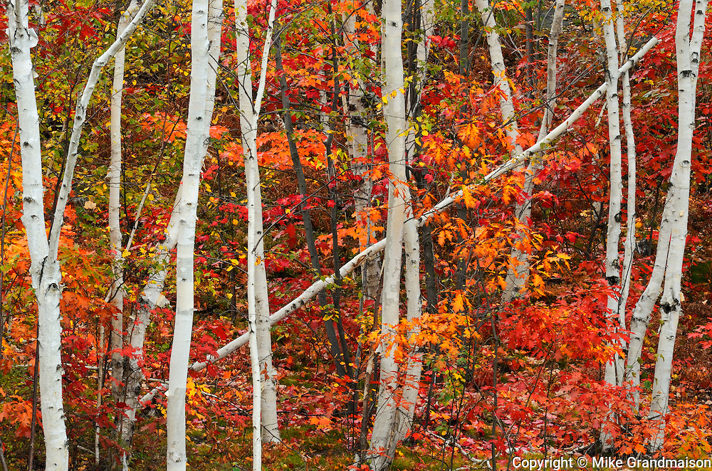 Paper birch trees and maple trees in autumn color<br /> <br /> Sudbury<br /> Ontario<br /> Canada