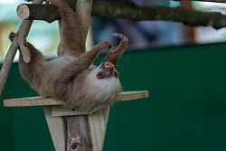 A sloth lies on his back