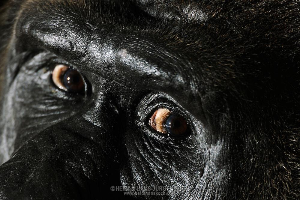 Gorilla, Western Lowland gorilla (Gorilla gorilla gorilla)..Short observant eye of an adult male gorilla (silverback). Gorillas do not like the direct, fixed gaze, because it is interpreted as aggressive behavior.....Gorilla, Westlicher Flachlandgorilla (Gorilla gorilla gorilla)..Kurzer beobachtender Blick eines adulten Gorilla-Mannes (Silberrücken). Gorillas mögen den direkten, fixierenden Blickkontakt nicht, da er als aggressives Verhalten gedeutet wird...