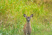 Sitka black-tailed deer (Odocoileus hemionus sitkensis). Near Skidegate. Graham Island. , Haida Gwaii (formerly the Queen Charlotte Islands), British Columbia, Canada