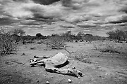 A carcass of a dead of animals is seen in Mandera district , Kenya on Aug. 8, 2011. .Somalia is facing a humanitarian crisis as the United Nations has officially declared the country's food crisis to be a famine. Tens of thousands have died of malnutrition with thousands more fleeing the country, seeking refuge at camps at the Ethiopian and Kenyan  border.