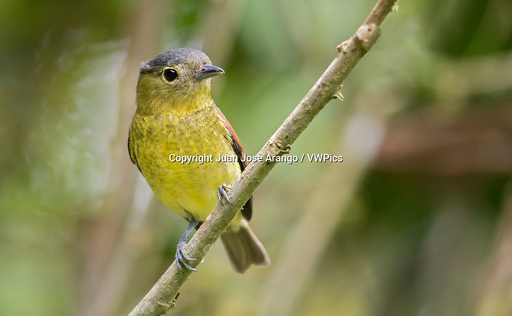 Barred Becard (Pachyramphus versicolor), female, Valle del Cauca
