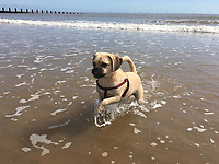 Cute little puggle running and enjoying the beach