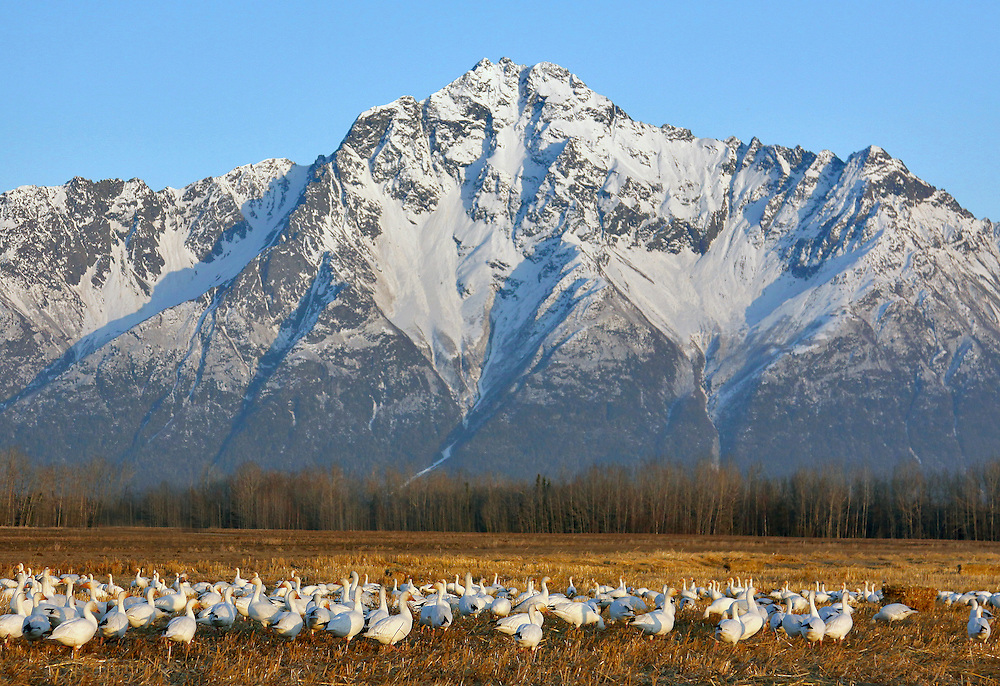Alaska. Snow Geese (Chen caerulescens) feeding in a Matanuska Valley barley field during spring migration, with Pioneer Peak in the Backgorund.