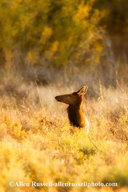 Cow elk, Cervus Canadensis, Charles M Russell National Wildlife Refuge, Montana, autumn