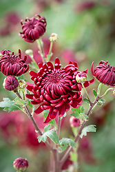 Chrysanthemum 'Bigoudi Red'