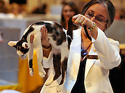 © Licensed to London News Pictures. 19/11/2011, Birmingham, UK.  A Bi-Coloured Oriental is examined by a judge. The Supreme Cat Show held today, 19 November in the National Exhibition Centre, Birmingham.  The event is a highlight in the cat show calendar and is regarded as the feline equivalent of Crufts. Photo credit : Stephen Simpson/LNP