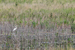 24 May 2016: Emiquon National Wildlife Refuge<br /> Great Egret