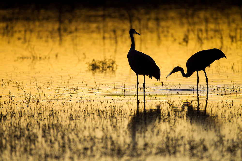 USA, New Mexico, Bosque del Apache National Wildlife Refuge, Silhouette of Sandhill Cranes (Grus canadensis) feeding in lake along Rio Grande Valley on winter evening
