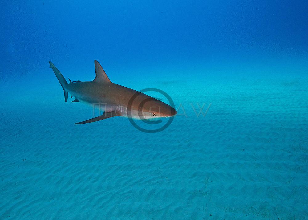 Bahamas, Sharks and dolphins, Caribbean reef shark (Carcharhinus perezi;