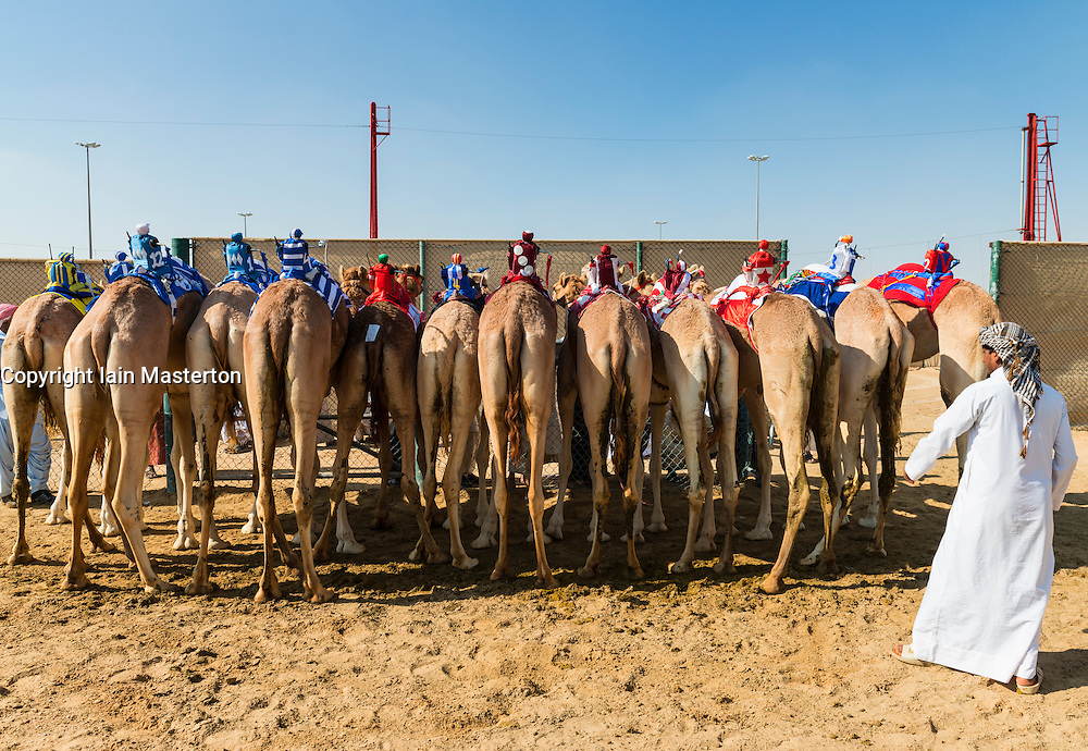 Camels lined up before races at Dubai Camel Racing Club at Al Marmoum in Dubai United Arab Emirates