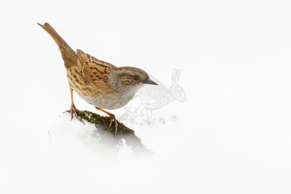 Dunnock (Prunella modularis) adult, standing on fallen branch in snow covered ground, South Norfolk, UK, March