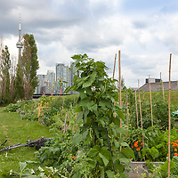 Productive vegetable gardens against a backdrop of Toronto's urban skyline.