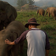 CHIANG MAI - MARCH 2 2006: A mahout, or keeper, watches a family of elephants graze at the Elephant Nature Park in Northern Thailand. Mahouts are very important, even on parks and reserves, to make sure the elephants do not cross into farmers lands and eats crops or damage property. Asian elephants - strong, social, and intelligent - have been trained for thousands of years for use in transportation, labor, and ritual. In Thailand, Elephants are of immense cultural importance, but their numbers are shockingly plummeting. In 1905, there were over 100,000 elephants in this land - now they are estimated at less than 5,000, of which barely half are in the wild. (Photo by Logan Mock-Bunting)