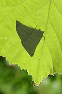 Scalloped Oak - Crocallis elinguaria