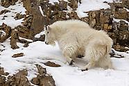 Mountain Goats |  Pronghorn