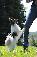 A Papillion show dog begs for a treat. sabina louise pierce