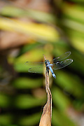 This is a photograph of a Blue Dasher Dragonfly taking a moment to rest.