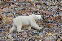 Polar bear running over rocks on Philpots Island on Devon Island at Nunavut, Canada.