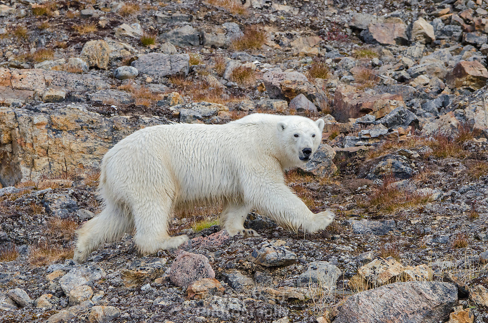 Polar bear running over rocks on Philpots Island on Devon Island at Nunavut, Canada.