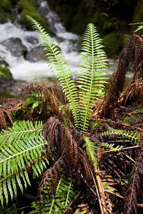 Fern in Daintree rainforest, Queensland, Australia