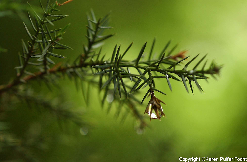 Drops of ran drip off an evergreen.